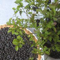 Blueberry pie, mustikkapiirakka